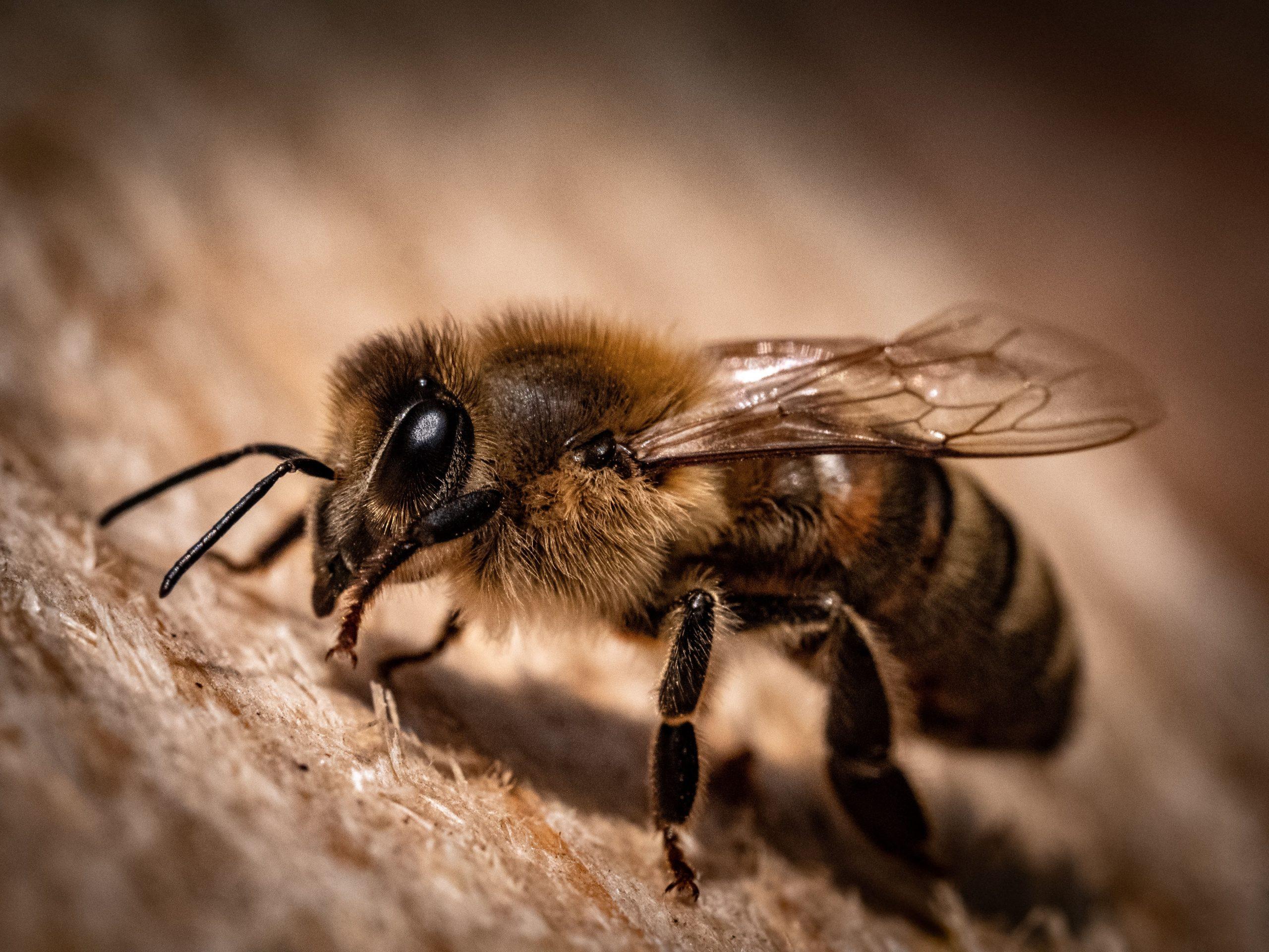 harige bijen
